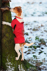 Parson Jack Russell in red winter coat climbing a tree