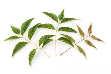 Neem leaves on white