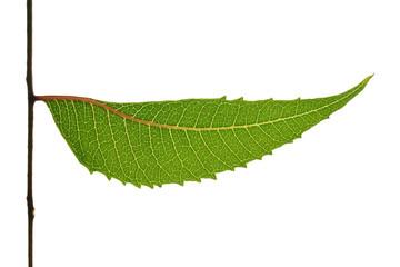Neem leaf isolated on white