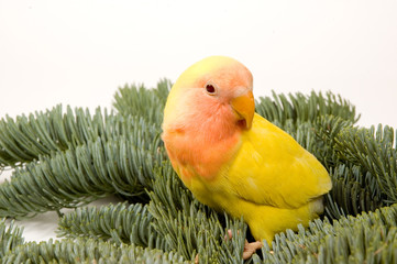 lovebird standing between the christmas bare twigs