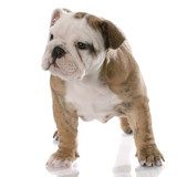 nine week old female english bulldog puppy