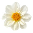 flower of dahlia on white background
