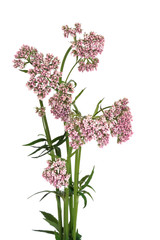 Valerian Herb in Flower