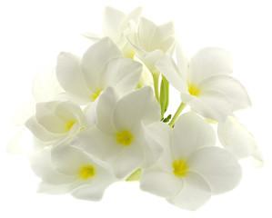 fleurs blanches frangipanier fond blanc