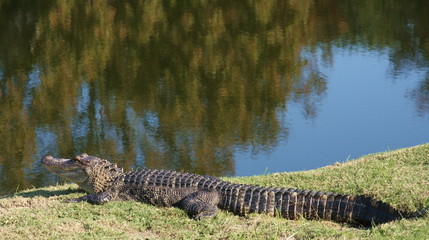 Alligator by the pond