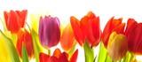 Tulips - 19652930