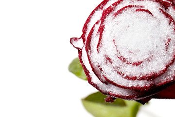 Macro shoot of a frozen red rose in snow
