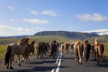 Herd of Icelandic Horses Running Down A Road