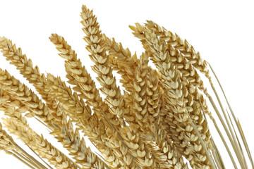 épis secs blé fond blanc
