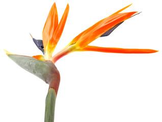 fleur exotique, oiseau du paradis, fond blanc