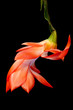 Orange Christmas Cactus
