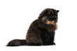 Persian tortie cat (PER а 62) on white background