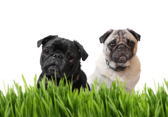 Black and fawn pug behind grass