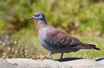 Speckled Pigeon walks on a rock to feed