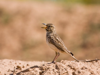Thick Billed Lark calls from his post in the Karoo, South Africa