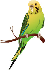 Illustration of a lovebird in a branch