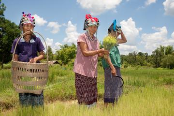 Akha Frauen am Reisfeld