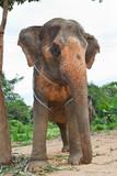 Elephant standing below the tree in backyard poster