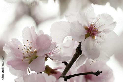 Kirschblüten_8 - 19704127
