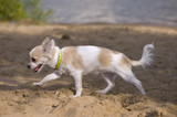 chihuahua puppy walking on the beach
