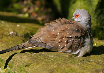 tropical pigeon