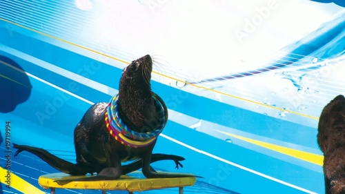 HD Fur seal playing with hoops on the stage, closeup