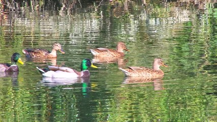 HD Ducks swimming in wonderful colored water in the morning