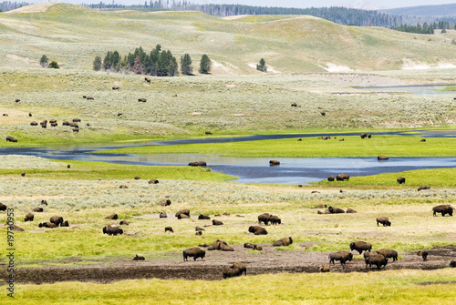 Deurstickers Bison Buffalo Herd in Hayden Valley