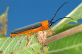 Longicorn beetle on green leaf