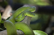 Thailand, Chiang Mai, Green Pit Viper on a tree branch
