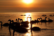 Romantic swans in the beautifull sunset