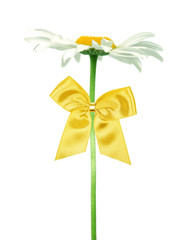 daisy with gold bow