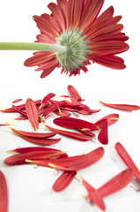 ragged gerbera