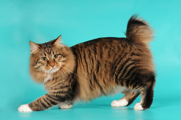 Bobtail cat portrait