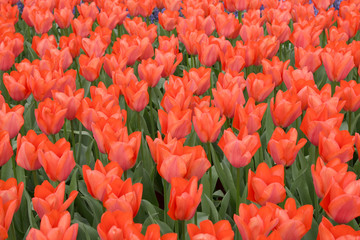 Natural backgrounds: red tulip field