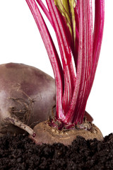 red beet beetroot growing in the soil, isolated on white