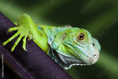 canvas print picture A picture of iguana - small dragon, lizard