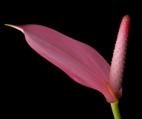 Pink Anthurium - Flamingo flower