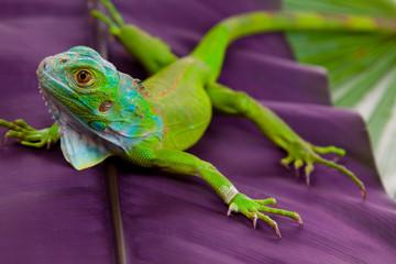 Iguana on Leaf