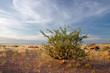Desert plant (Commiphora spp.), Namibia