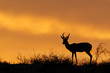 Silhouetted springbok antelope, Kalahari, South Africa