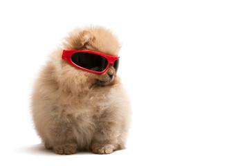 Pomeranian spitz in red sunglasses