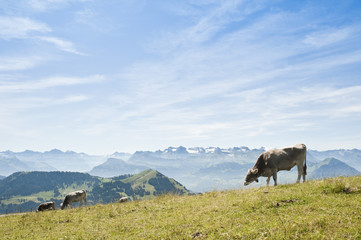 Cows on Rigi Mountain