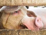 Pig in Enclosure poster