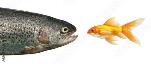 Trout and gold fish isolated on white