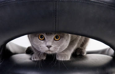 Funny Scottish cat peeping through the hole