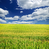 Fototapety Corn field