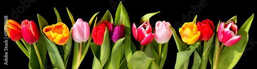 tulipes fond noir
