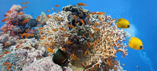 Coral scene - panorama