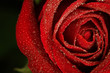 Dew drops on red rose
